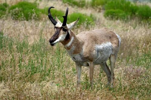 L'antilope la plus rapide du continent... - copie