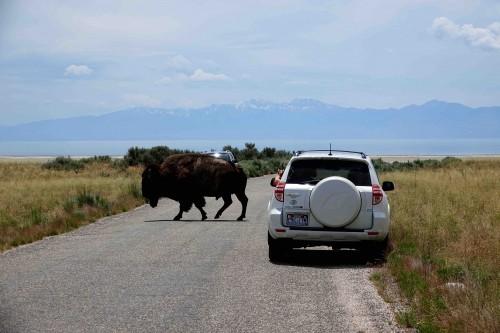 Les bisons de Antelope Island, vus de près. - copie