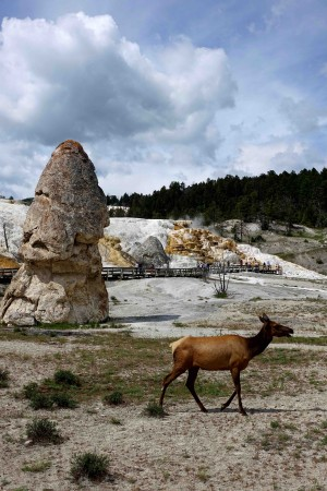 Un wapiti devant Mammoth Hot Springs - copie