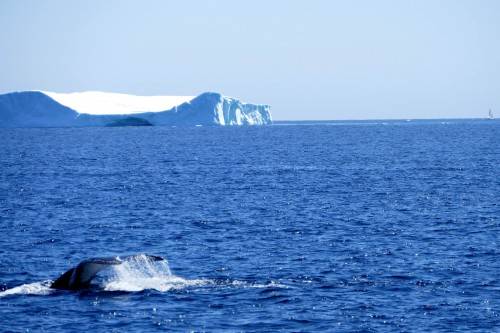 St Anthony, baleine et iceberg - copie