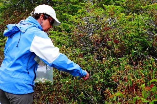 La cueillette du thé du Labrador en fleur.