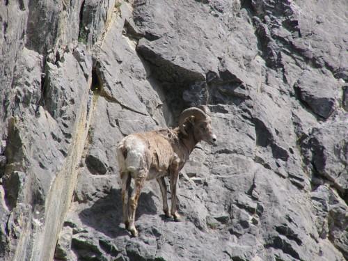 Un mouflon sur sa paroi rocheuse.