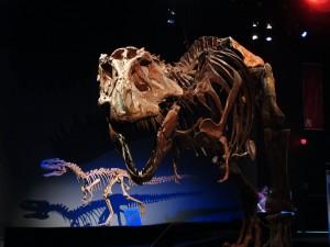 Le fascinant Albertosaurus librates !